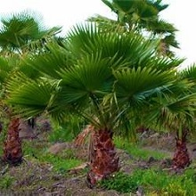 washingtonia plant